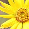 向日葵(ひまわり)の画像