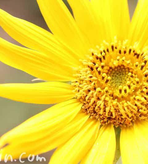 ヒマワリの花言葉・名前の由来・花の写真
