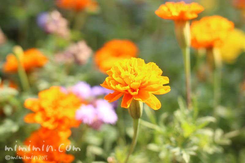 オレンジ色のマリーゴールドの花の写真・花言葉・名前の由来の画像