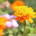 オレンジ色のマリーゴールドの写真・花言葉・名前の由来