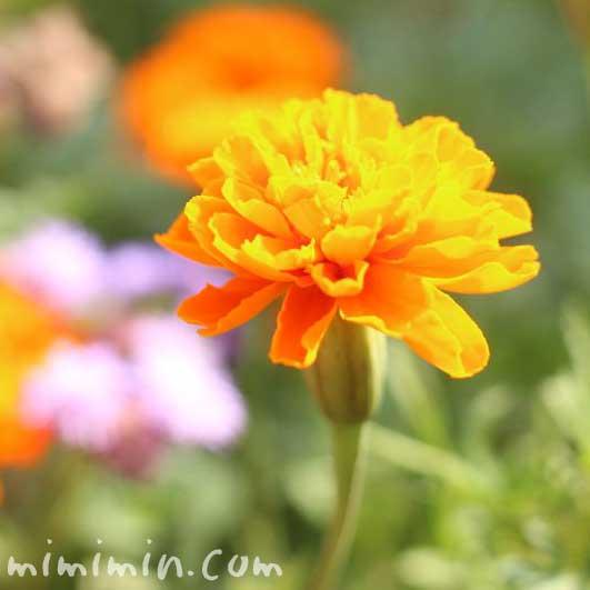 マリーゴールドの花言葉・名前の由来・オレンジ色のマリーゴールドのの写真