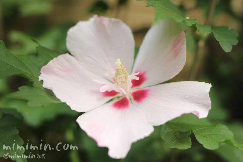 ムクゲの花の写真