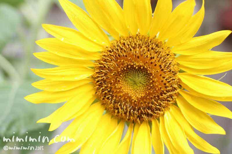 ヒマワリの花言葉・名前の由来の画像