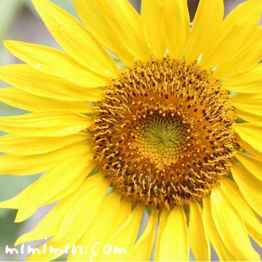 ヒマワリの花言葉・名前の由来・向日葵の写真