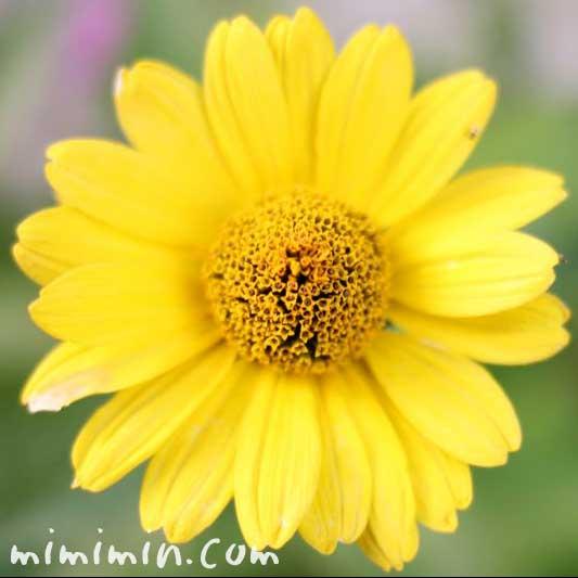 ヒメヒマワリの花の写真