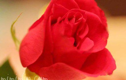 バラの神話の画像