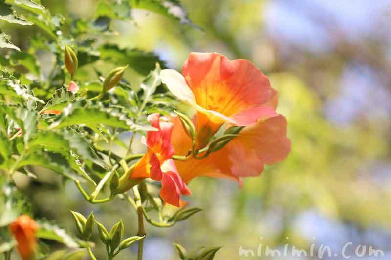 ノウゼンカズラの誕生花