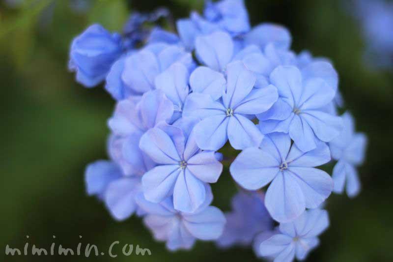 瑠璃茉莉・青の画像