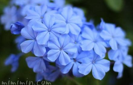 ルリマツリ・青の画像