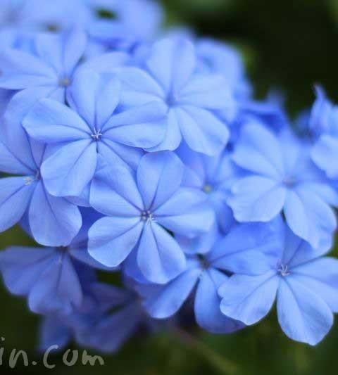 ルリマツリの花言葉・名前の由来・花の写真