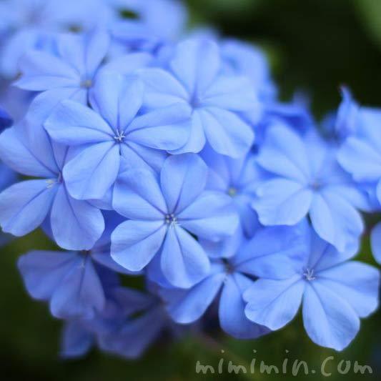 ルリマツリの花・青の写真