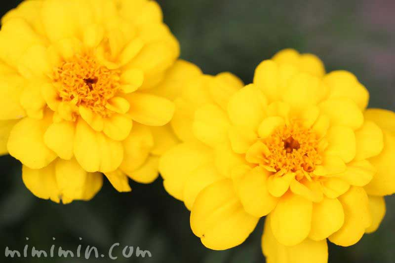 マリーゴールド 黄色の写真