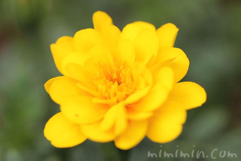 マリーゴールドの花 黄色の写真