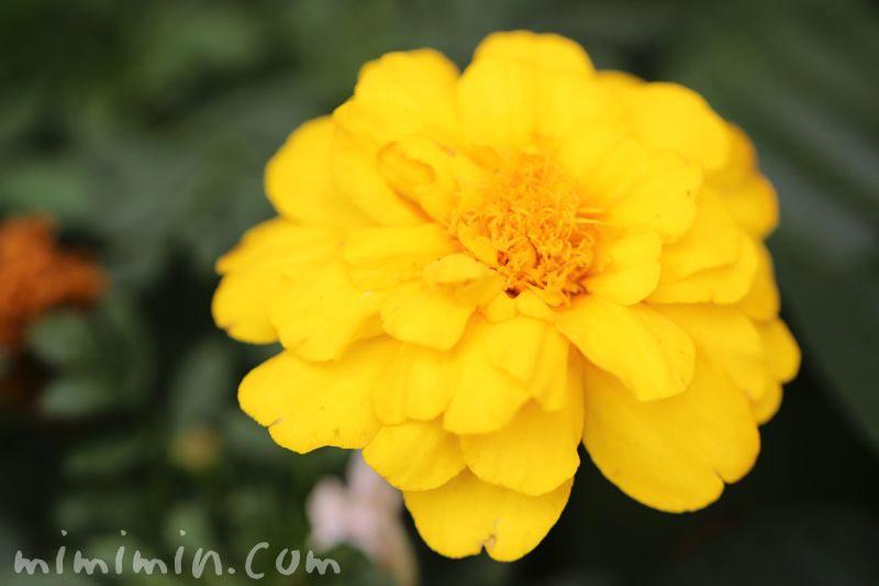 千寿菊の画像