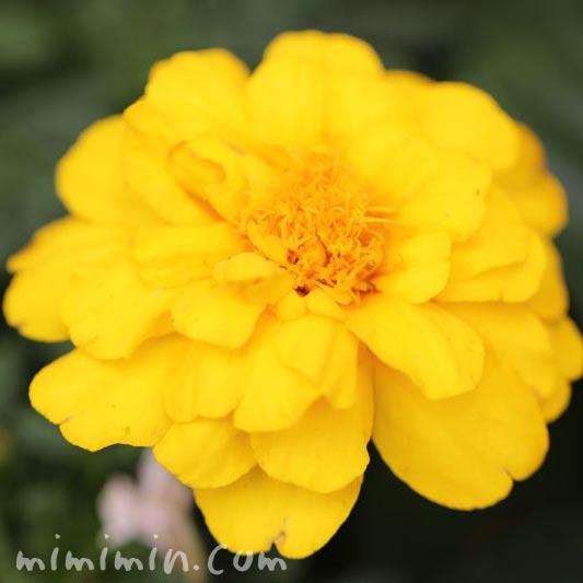 千寿菊の花の写真