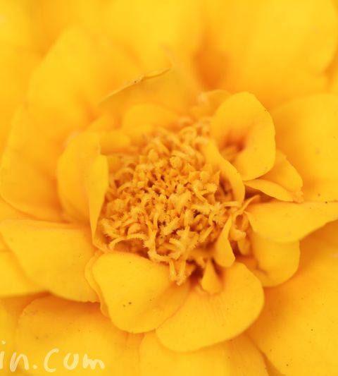 マリーゴールドの花言葉・名前の由来・花の写真