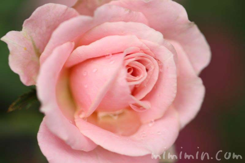 バラの花 薄いピンクの写真