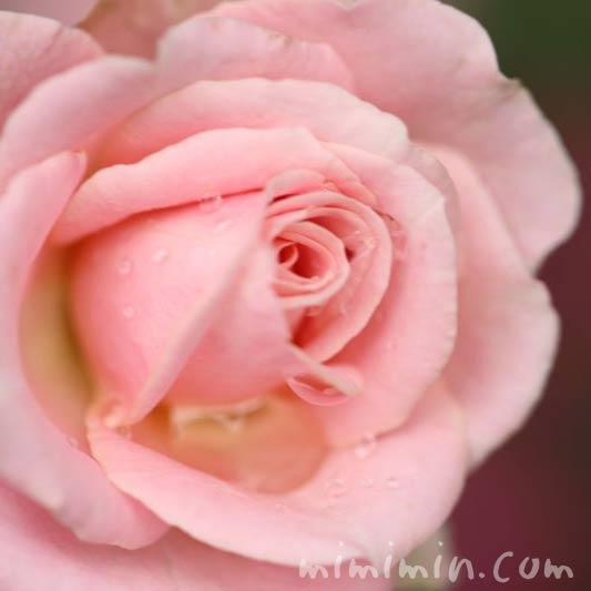バラ 薄いピンクの画像