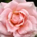 薄いピンクの薔薇の画像
