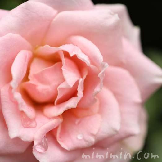 薄いピンクの薔薇の花の写真