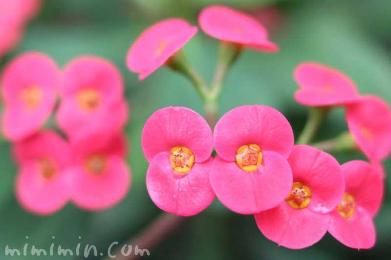 花麒麟・ピンク色の画像