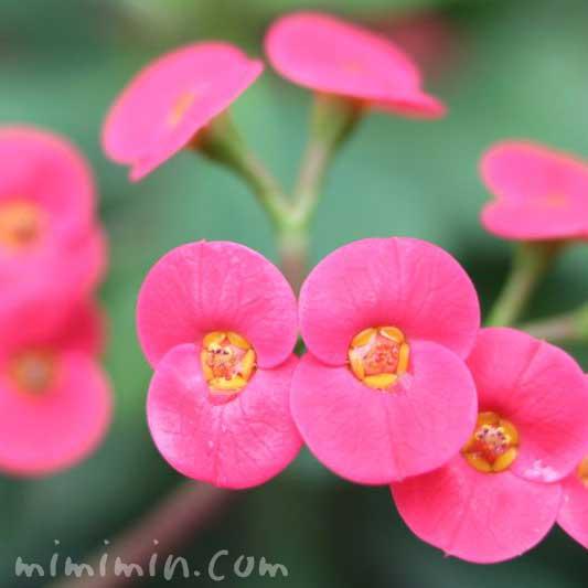 ハナキリン・ピンク色の写真