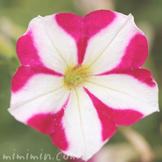 ペチュニア 絞り咲きの画像