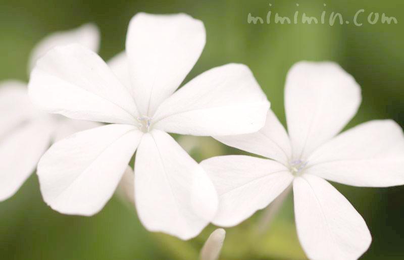 白い瑠璃茉莉