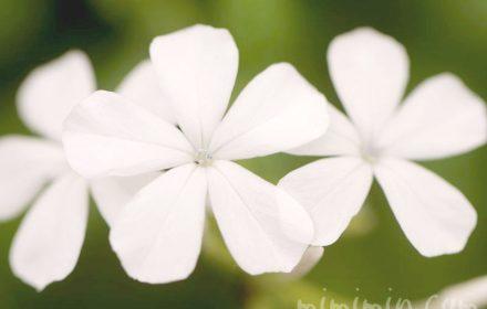 白いルリマツリ