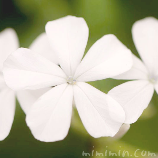 ルリマツリの花言葉の画像