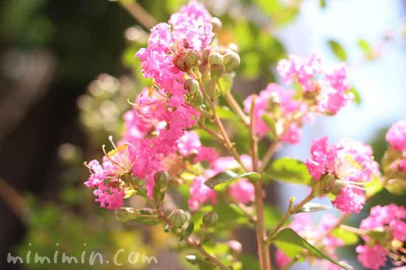 サルスベリ・ピンクの画像