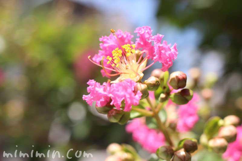サルスベリの花の写真・ピンク