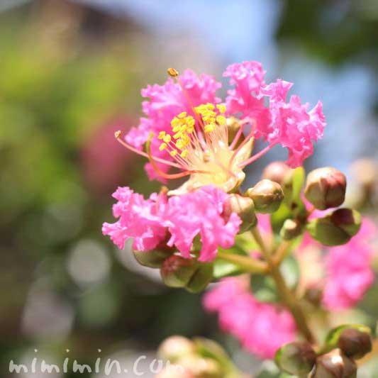 サルスベリの花(ピンク)の写真