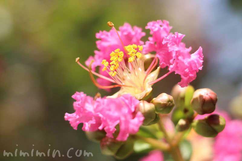 サルスベリの花・ピンク色の画像