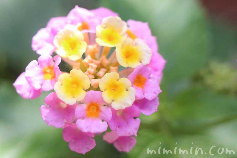 ランタナの花・ピンクの写真