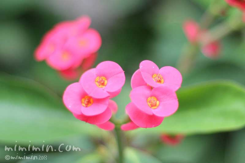 ピンク色のハナキリンの写真