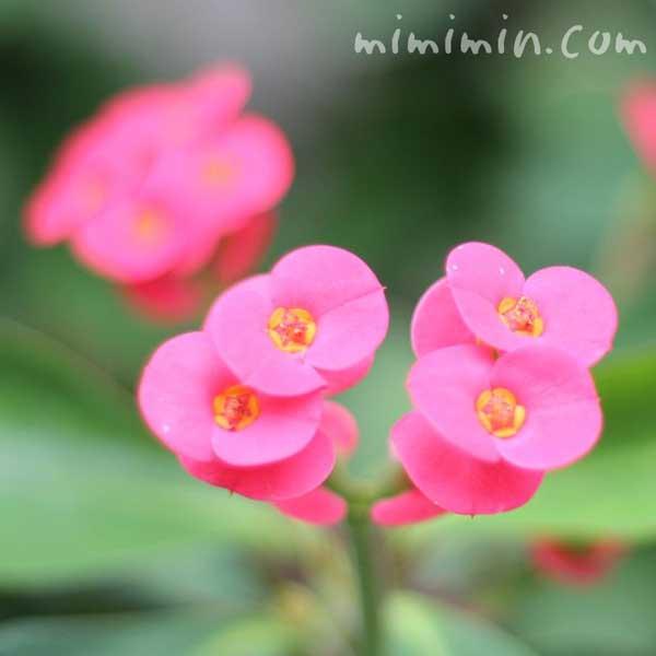 ハナキリンの花の写真