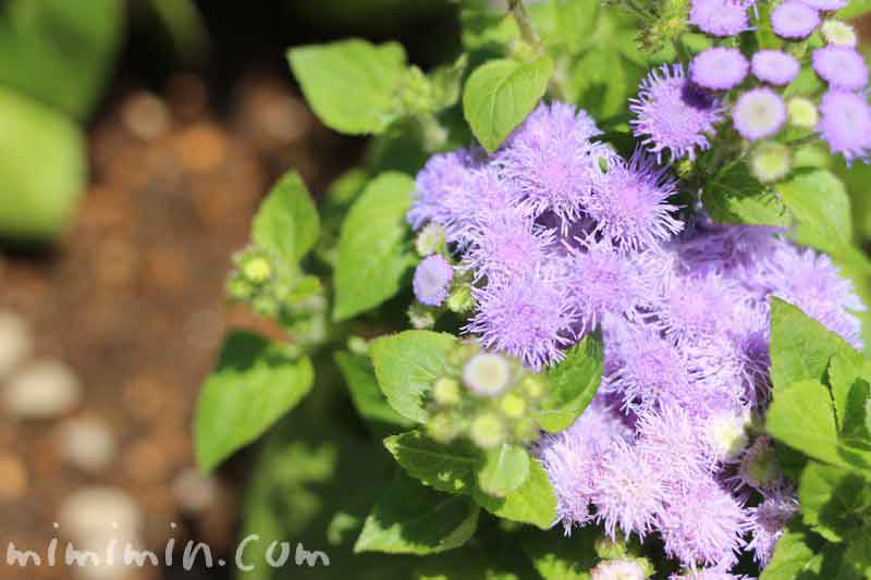 アゲラタム・紫の画像