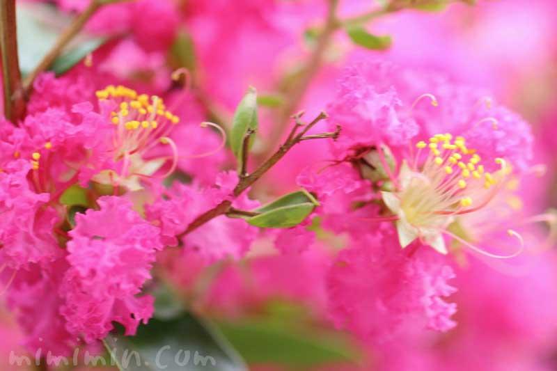 サルスベリの写真と花言葉と名前の由来