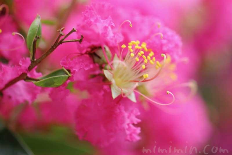 サルスベリの写真・花言葉・名前の由来の画像