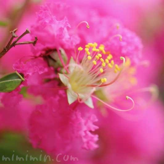 サルスベリ(ピンク)の花の写真・花言葉・名前の由来の画像