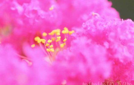 サルスベリの花の写真と花言葉と名前の由来