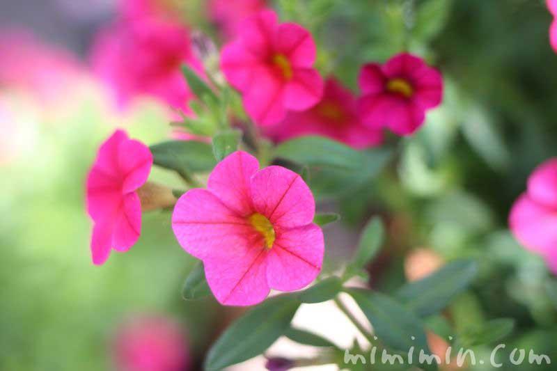 ペチュニアの花・ピンクの写真