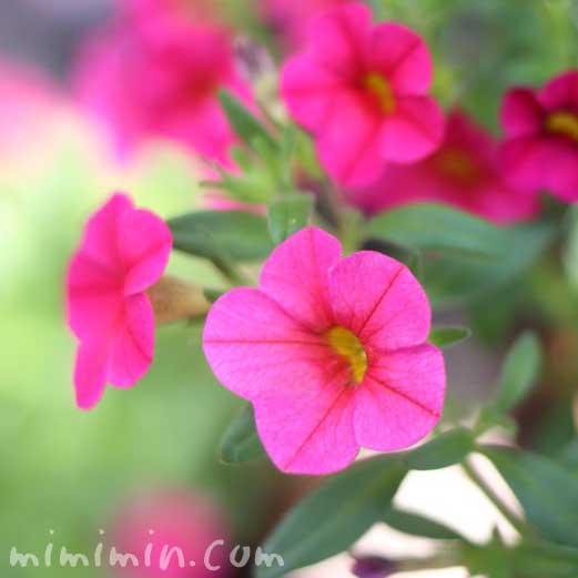 ペチュニア・ピンクの画像