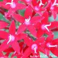 赤いペンタスの花の画像