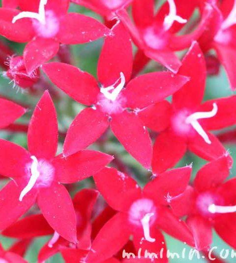 ペンタスの花言葉・名前の由来|ペンタスの花の写真