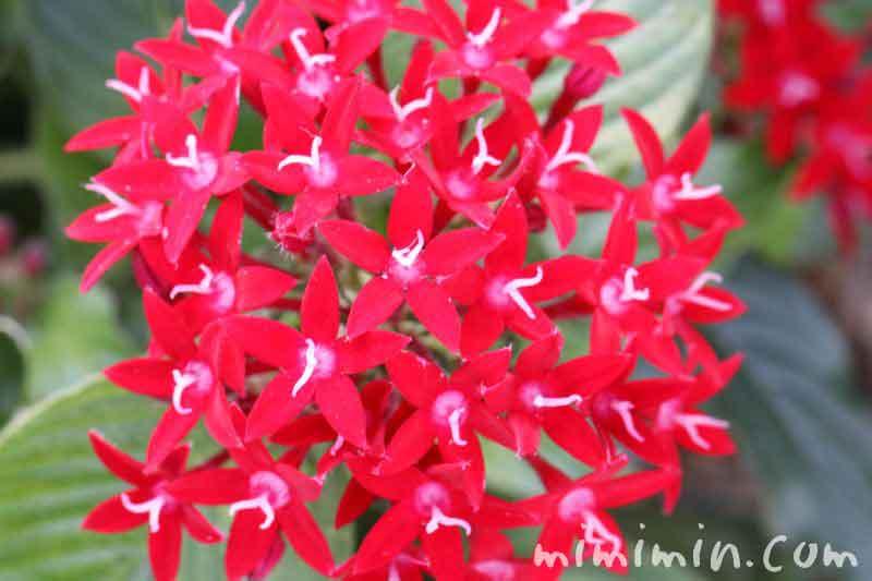 ペンタスの花・赤の写真