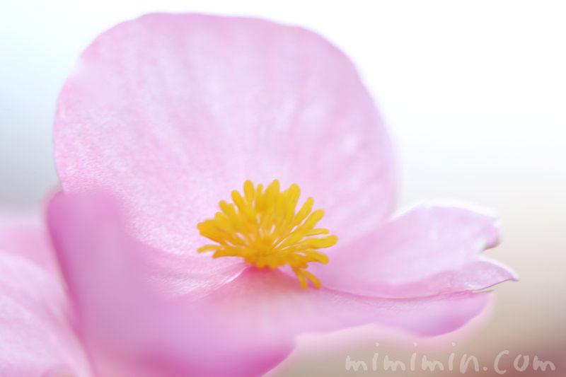 ベゴニアの花の写真と花言葉