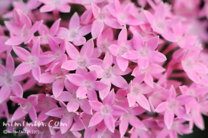ペンタス・ピンク(花の写真&花言葉)の画像