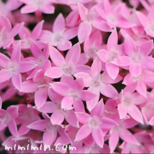 ピンク色のペンタスの画像(花の写真&花言葉)